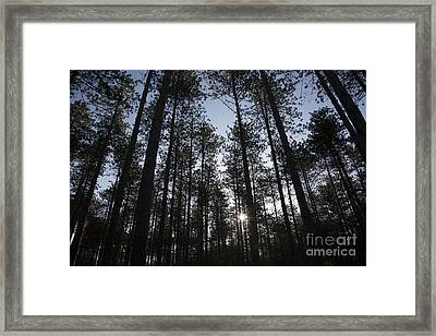 New England Red Pine Forest Framed Print by Erin Paul Donovan