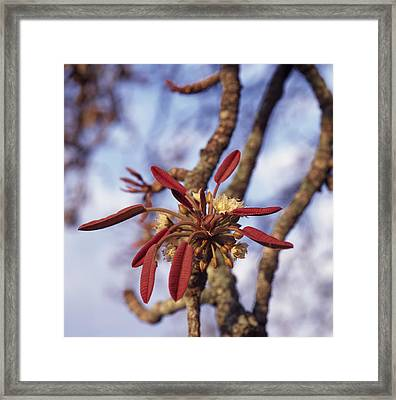 New Growth On A Shea Tree.  A Flower Framed Print by David Pluth