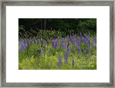 New Hampshire Lupines Framed Print