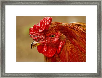 New Hampshire Red Rooster Framed Print