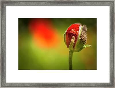New Orange Poppy Bloom Framed Print