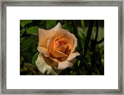 New Rose Framed Print