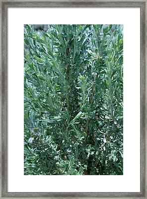 New Sage Framed Print