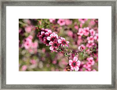 New Zealand Tea Tree Flowers Macro 1 Framed Print