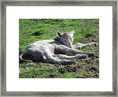 Newborn Calf Framed Print