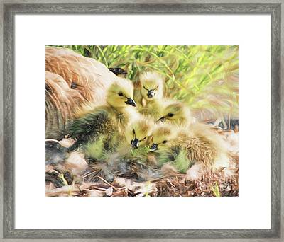 Newborn Canada Geese Goslings With Mother Goose In The Backgroun Framed Print by Vizual Studio