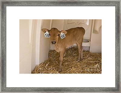 Newborn Dairy Calf Framed Print