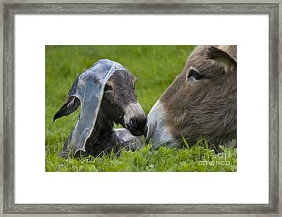 Newborn Donkey Framed Print by Jean-Louis Klein & Marie-Luce Hubert