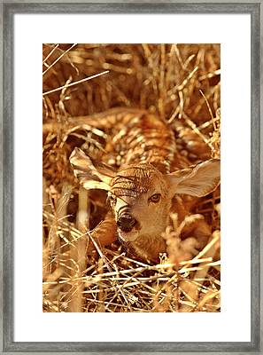 Newborn Fawn Framed Print by Mark Duffy