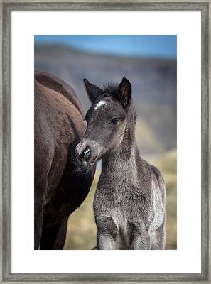 Newborn Foal, Iceland, Icelandic Horse Framed Print by Panoramic Images