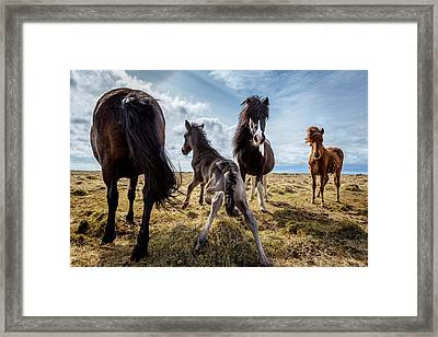 Newborn Foal Taking His First Steps Framed Print by Panoramic Images