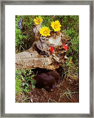 Newborn Foxes Framed Print by Dennis Hammer