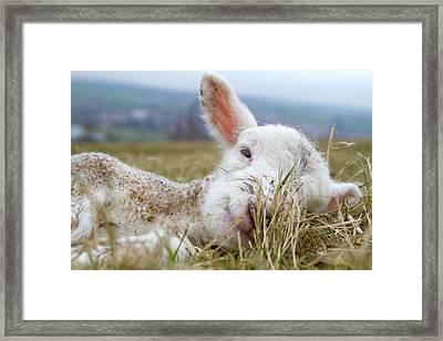 Newborn Lamb Framed Print