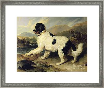 Newfoundland Dog Called Lion Framed Print by Sir Edwin Landseer