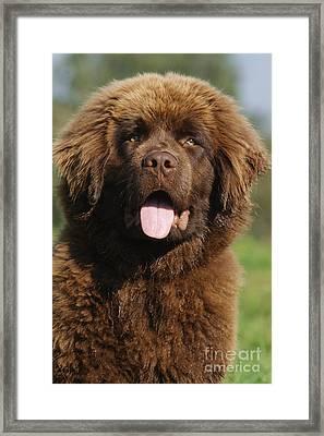 Newfoundland Puppy Dog Framed Print by Brinkmann/Okapia