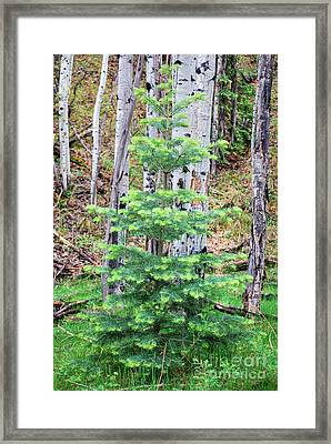 Next Years Christmas Tree Framed Print by Donna Greene