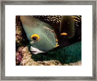 Nibbling French Angel Fish Framed Print by Jean Noren