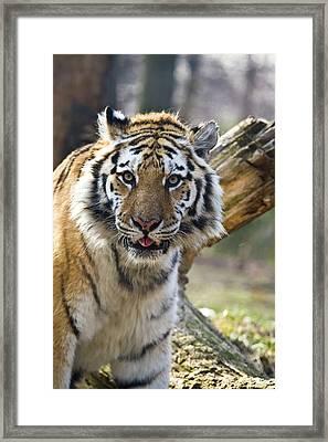 Nice Kitty Framed Print by Karol Livote