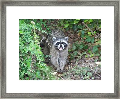 Nick The Raccoon Framed Print by Laurie Kidd