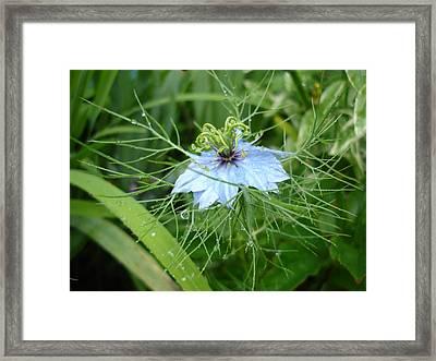 Nigella In Spring Rain Framed Print