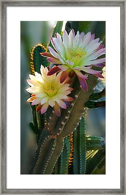 Framed Print featuring the photograph Night-blooming Cereus 4 by Marilyn Smith