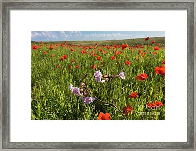 Night Flowering Catchfly And Poppies Framed Print by Terri Waters