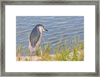 Night Heron  Framed Print by Kate Brown