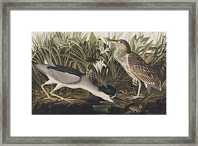 Night Heron Or Qua Bird Framed Print by John James Audubon