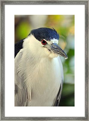 Night Heron Portrait In The Early Morning Light  Framed Print by Rose  Hill