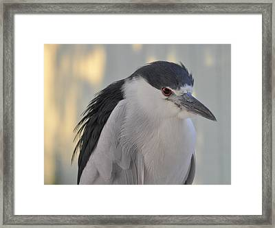 Night Heron  Framed Print by Rose  Hill