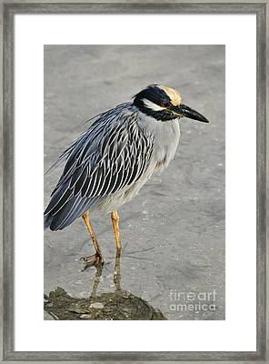 Night Heron With Breeding Colors Framed Print by Rose  Hill