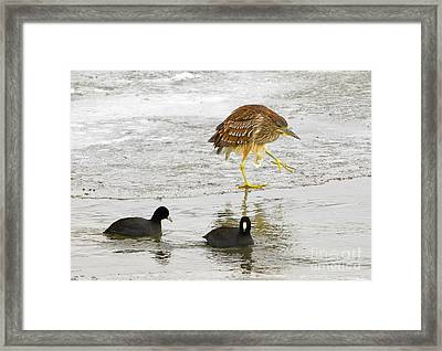 Night Heron With Coots Framed Print by Dennis Hammer