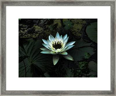Night Lily Framed Print by Laurie Prentice