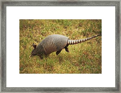 Nine-banded Armadillo Jumping Framed Print