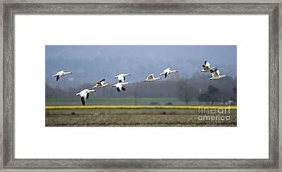 Nine Geese A Flying Framed Print by Mike Dawson