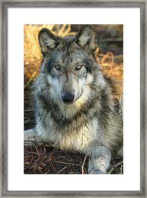 Framed Print featuring the photograph Noble Lupine by Shari Jardina