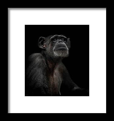 Chimpanzee Framed Prints