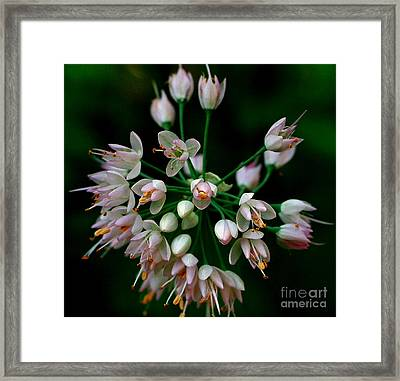 Nodding Onion Framed Print