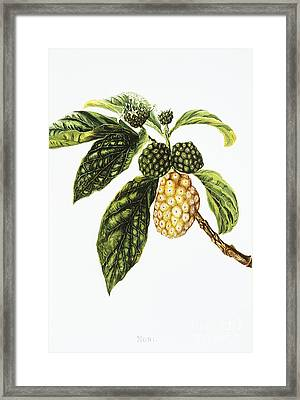 Noni Fruit Art Framed Print by Hawaiian Legacy Archive - Printscapes