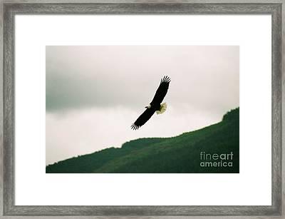 Nooksack Eagle Framed Print by Brent Easley