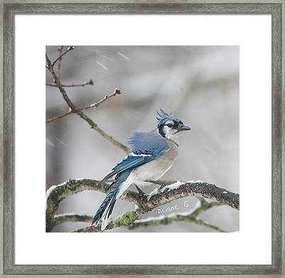 Nor' Easter Blue Jay Framed Print