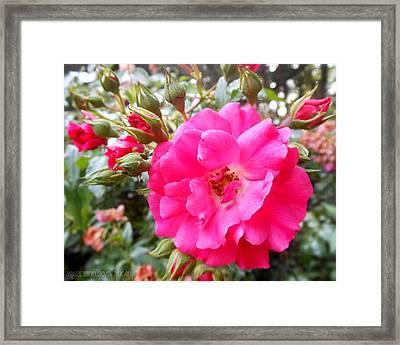Nora's Knockout Roses Framed Print