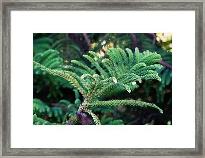 Norfolk Island Pine Frond Framed Print
