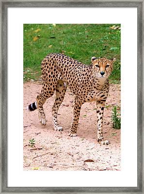 North African Cheetah Framed Print