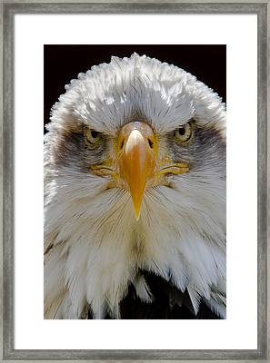 North American Bald Eagle  Framed Print