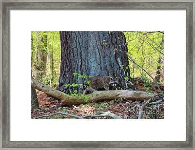 North American Raccoon Framed Print by Neal Eslinger