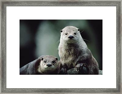 North American River Otter Lontra Framed Print by Gerry Ellis