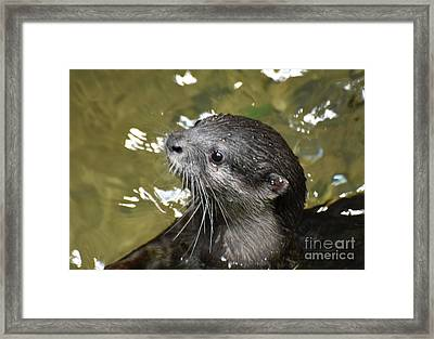 North American River Otter Swimming In A River Framed Print