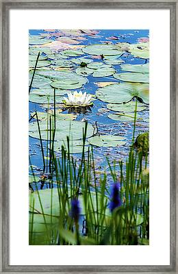 North American White Water Lily Framed Print