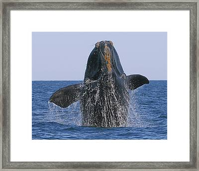 North Atlantic Right Whale Breaching Framed Print by Tony Beck